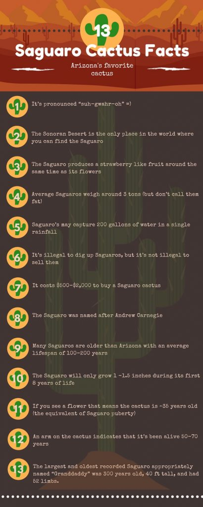 Saguaro Cactus Facts Infographic